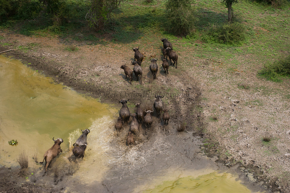 Buffalo (Syncerus caffer)<br /> Gorongosa National Park<br /> Mozambique, Africa<br /> Buffalo to be darted from helicopter for blood and Probang (throat scrape) samples to test for foot-and-mouth disease to prepare localized vaccines for regionally different foot-and-mouth strains.