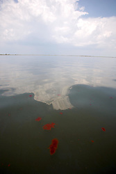 28 May 2010. Barataria Bay to Grand Isle, Jefferson/Lafourche Parish, Louisiana. <br /> Blobs of disgusting brown oil resembling feces floats in the eerily empty ocean where water that would ordinarily be crystal clear is now gravy coloured thanks to dispersed oil just off Grand Terre Island where Barataria Bay meets the Gulf of Mexico. Ordinarily the ocean would be filled with shrimp boats, sport fishermen and sea birds, especially in the run up to memorial day weekend. With tens of thousands of square miles of fishing grounds closed the ecological and economic impact are devastating to the region. Oil from the Deepwater Horizon catastrophe is evading booms laid out to stop it thanks in part to the dispersants which means the oil travels at every depth of the Gulf and washes ashore wherever the current carries it. The Louisiana wetlands produce over 30% of America's seafood and are the most fertile of their kind in the world.<br /> Photo credit; Charlie Varley<br /> www.varleypix.com