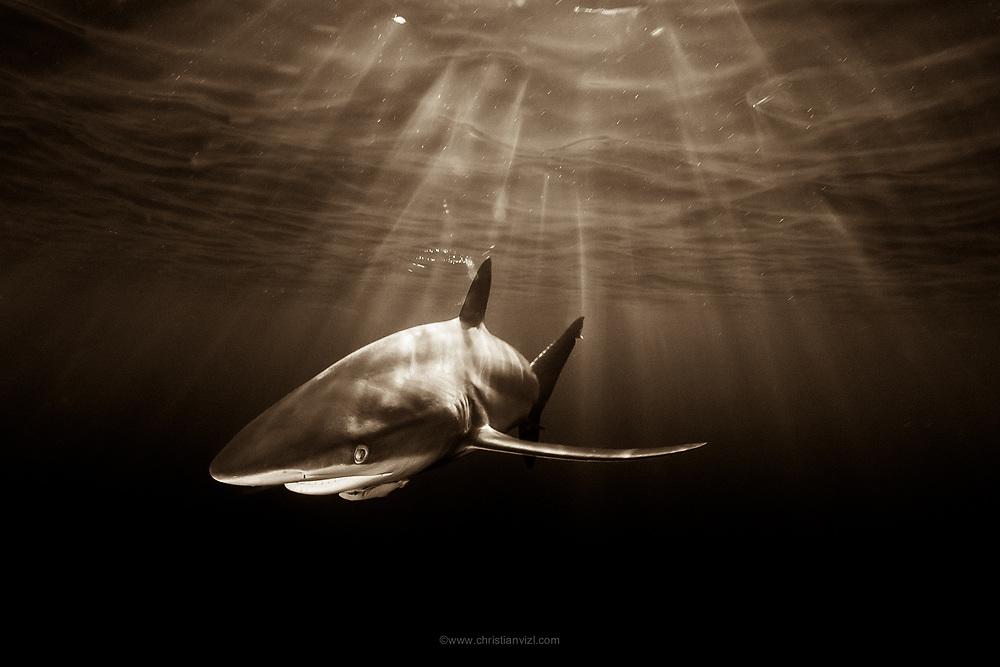 México, Revillagigedo Islands, San Benedicto. A silkie shark (Carcharhinus falciformis) swimming near the surface against the sunrays at dusk.