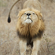 African Lion, large male stretching, South Africa