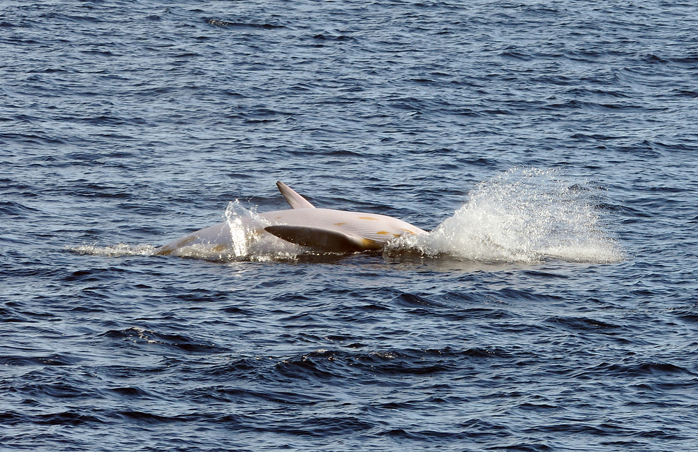An Antarctic Minke Whale (Balaenoptera bonaerensis) crashes into the water after breaching exposing its white underside. Hope Bay,  Trinity Peninsula,  Antarctic Peninsula, Antarctica. 02Mar16