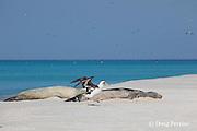 Laysan Albatross, Phoebastria immutabilis, starts to take off past sleeping Hawaiian monk seals, Monachus schauinslandi, Critically Endangered endemic species, Sand Island, Midway, Atoll, Midway Atoll National Wildlife Refuge, Papahanaumokuakea Marine National Monument, Northwest Hawaiian Islands ( Central North Pacific Ocean )