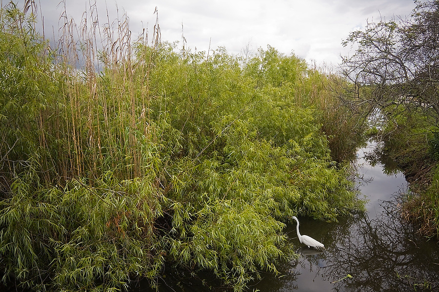 A Great Egret (Ardea alba) stands alone among the high grasses along the Anhinga Trail in Everglades National Park, Florida.