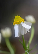 Flowering common chamomile (Anthemis cotula) plant. Photographed in Israel in spring in March