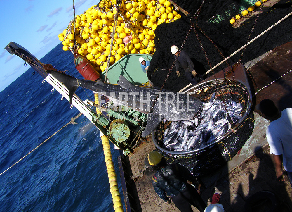 A whale shark is being pulled on deck after being caught in a purse seiner, Pacific Ocean