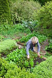 Carol Klein picking salad leaves in the vegetable garden at Glebe Cottage