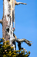 woodpecker search for food on an old decaying tree