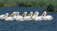 White Pelicans - Pelecanus onocrotalus