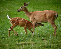 Doe & Fawn with Spots. Image taken with a Nikon N1V3 camera and 70-300 mm VR lens