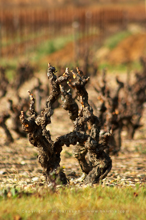 Fitou. Languedoc. Vines trained in Gobelet pruning. Old, gnarled and twisting vine. France. Europe. Vineyard.