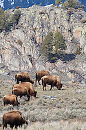 Bison, Lamar Valley, Yellowstone National Park