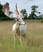 A white fallow deer buck (Dama dama) showing its huge antlers standing in a grassy park on the Knole Estate Sevenoaks Kent