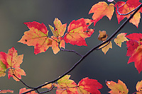 Close up of a sugar maple's leaves in the autumn.