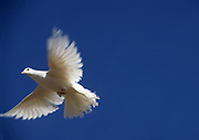 Flying white dove on blue sky background