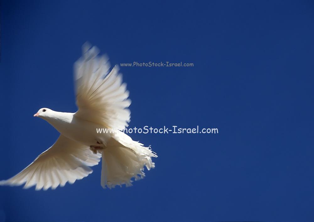 Flying white dove on blue sky background