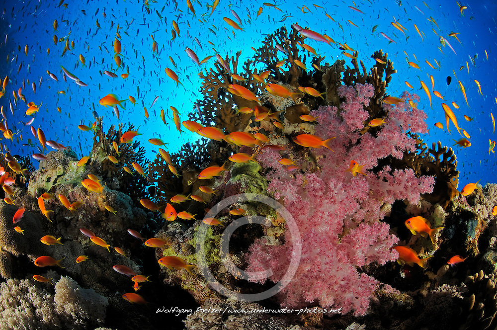 coral reef with Lyratail anthias, Pseudanthias squamipinnis, and Klunzingers soft coral, Dendronephthya klunzingeri, El Quseir, Egypt, Red Sea