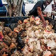 A pickup truck is used to transport a large catch of queen conch (Lobatus gigas). The fisherman will then crack them out of their shells in the parking lot where they are will be sold to tourists and locals. Image made on Eleuthera Island, Bahamas.
