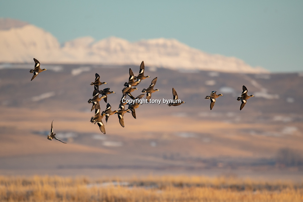 large group of wigeon courtship flight