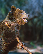 Grizzly bear holding a large stick. [captive, controlled conditions] © David A. Ponton
