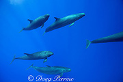 pseudorca, or false killer whale, Pseudorca crassidens, off the Kona Coast of Hawaii Island, Hawaiian Islands, U.S.A. ( Central Pacific Ocean )