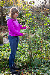 Cutting back roses by a half in early winter to avoid problems with wind rock