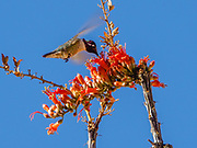 A hummingbird sucks nectar from a red ocotillo blossom. Ladder Canyon and Painted Canyon Loop Trail, Mecca Hills Wilderness, managed by BLM's Palm Springs-South Coast Field Office, near Mecca, California, USA.