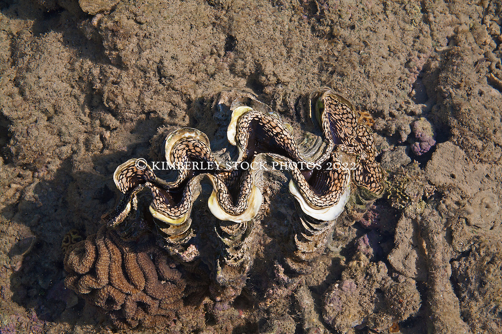 A giant clam rests amongst coral on Turtle Reef in Talbot Bay.