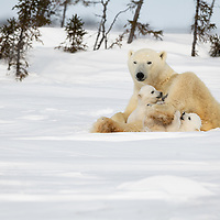 Polar bear mother resting on the tundra in Wapusk National Park while her play.