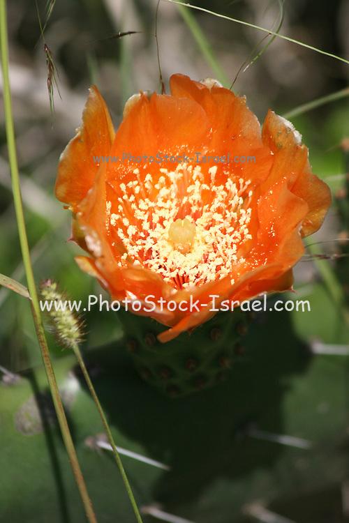 Kenya, lake naivasha, Kenya, Blooming prickly pear cactus cactaceae opuntia