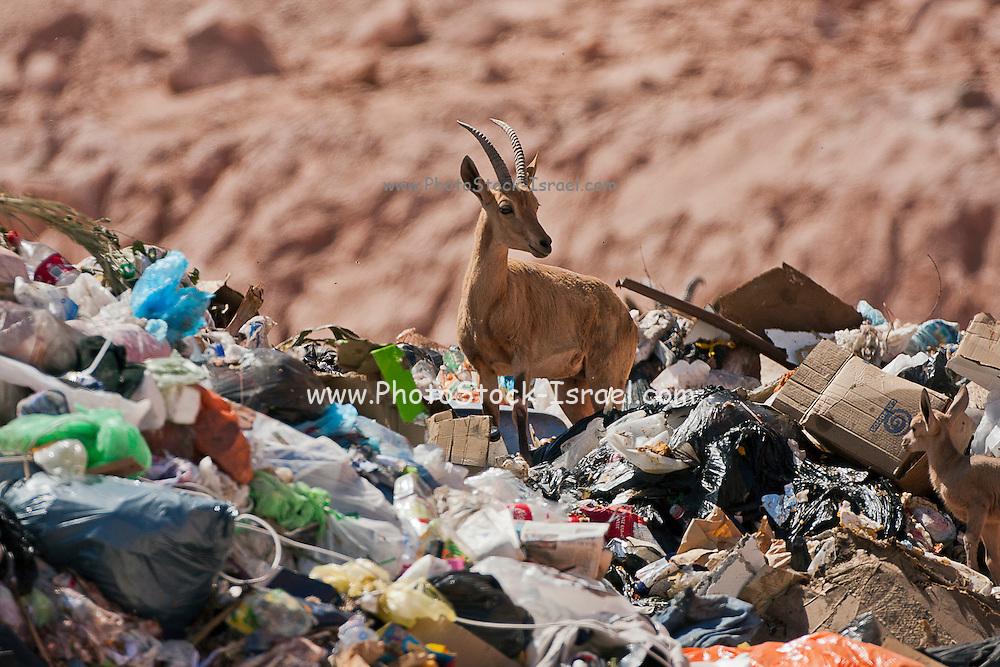 Ibex (Capra ibex nubiana) in city dump, photographed in Israel
