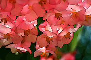 nature-derived graphicAngel Wing Begonia