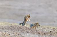 Tibetan Fox, Vulpes ferrilata, playing on the Tibetan highplateau Yushu, Haixi, Qinghai, China