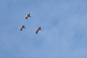 Photograph of Sandhill Cranes in flight from Whitwewater Draw Wildlife Area, AZ