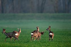 03.04.2009, Zenica, CRO, Rotwild, im Bild Rotwild in einem Weizenfeld // Deer in a field of wheat Zenica, Croatia on 2009/04/03. EXPA Pictures © 2016, PhotoCredit: EXPA/ Pixsell/ Goran Safarek/HaloPix<br /> <br /> *****ATTENTION - for AUT, SLO, SUI, SWE, ITA, FRA only*****
