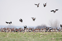 Red-Breasted Goose (Branta ruficollis) and White-Fronted Goose (Anser albifrons) at Durankulak Lake, Bulgaria. February 2009 <br /> Mission: Red-Breasted Goose