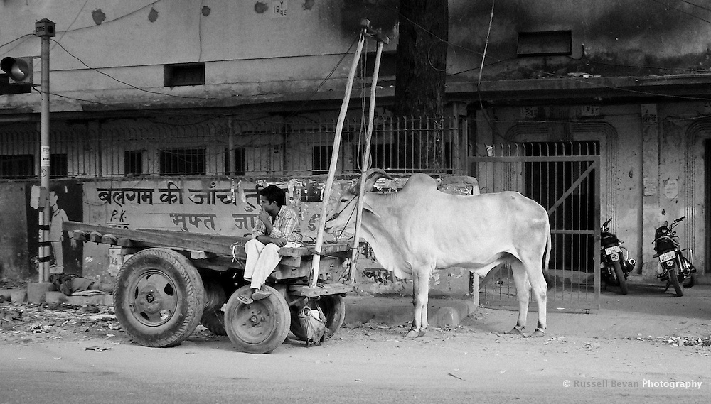 A man sits on his cart, waiting with his cow in a Delhi street, India