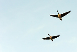 10 November 2007: Canadian Geese fly over head in Comlara Park, McLean County, Illinois (Photo by Alan Look)