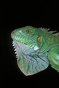 Green Iguana<br />Iguana iguana<br />South America