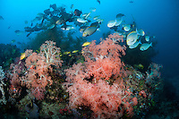Surgeonfishes congregate above huge Soft Corals<br /> <br /> Shot in Indonesia