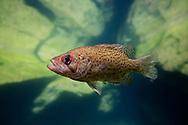 Ozark Bass<br /> <br /> Isaac Szabo/Engbretson Underwater Photography