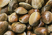 Close up photograph of a batch of freshly caught Manilla Clams