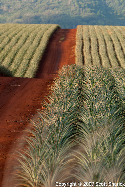 A red dirt road runs through the pineapple fields of central Oahu, Hawaii.