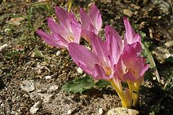 flora, flower Colchicum, meadow saffron, herfsttijloos of droogbloeier