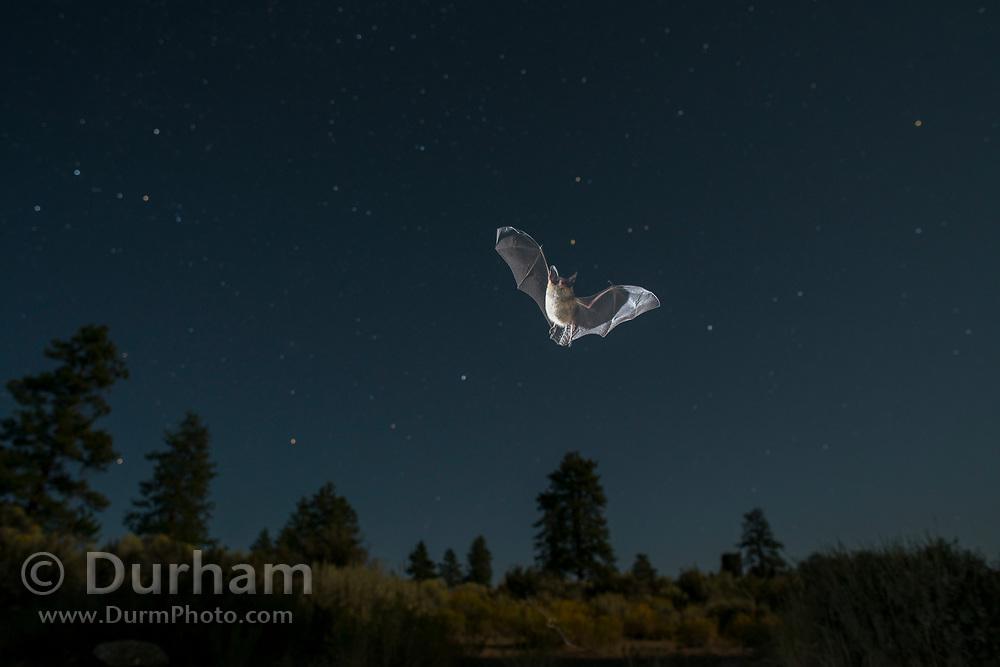 Wild bat (myotis sp.) flying at night in Central Oregon. ©MIchael Durham