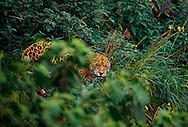 Jaguar (Panthera onca) photographed in Belize, CA.