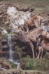 THEMENBILD - ein Rothirsch mit Hirschkühe bei einem bach auf einer Wiese in einem Wildtiergehege, aufgenommen am 07. März 2019 in Aurach, Oesterreich // a red deer with red deer hind on a meadow in a wild animal enclosure in Aurach, Austria on 2019/03/07. EXPA Pictures © 2019, PhotoCredit: EXPA/ JFK