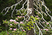 The Mount Townsend trail visits native rhododendrons which bloom reddish pink in late June. Hike 8 miles round trip and 3000 feet in steady vertical gain to an alpine ridge on Mount Townsend Trail #839 in Buckhorn Wilderness, on the Olympic Peninsula of Washington, USA. Contact the Quilcene Ranger Station, Olympic National Forest.