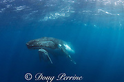 humpback whale mother and calf, Megaptera novaeangliae; calf is resting under mother's chin, Vava'u, Kingdom of Tonga, South Pacific