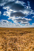 Wheat fields during harvest time, Schields & Sons Farming, Goodland, Kansas USA.