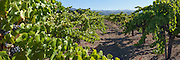 Vineyards on rolling hills in wine country in the Napa-Sonoma region of California. Panorama photographed in multi-image sequences to produce extremely large file sizes for large prints and full wall murals up to 50 feet.